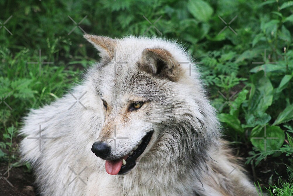 Grisham the Gray Wolf by Alyce Taylor
