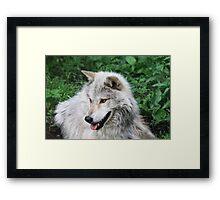 Grisham the Gray Wolf Framed Print