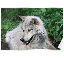 Grisham the Gray Wolf Poster
