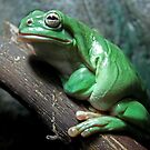 Green Tree Frog by Dave Cauchi