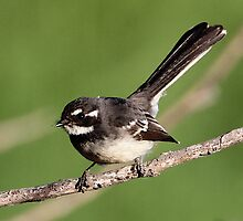 Grey Fantail by bowenite