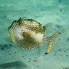 Cow Fish by DiverDeb