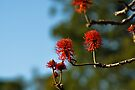 red hot poker tree by gary roberts