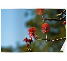 red hot poker tree Poster