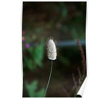 bunny tail grass Poster