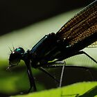Ebony Jewelwing    by Kane Slater