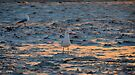 Seagull Sunset by Helen Vercoe