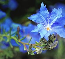 blue lechenaultia by nadine henley