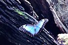 Blue Morpho Butterfly (Morpho peleides) by AuntDot