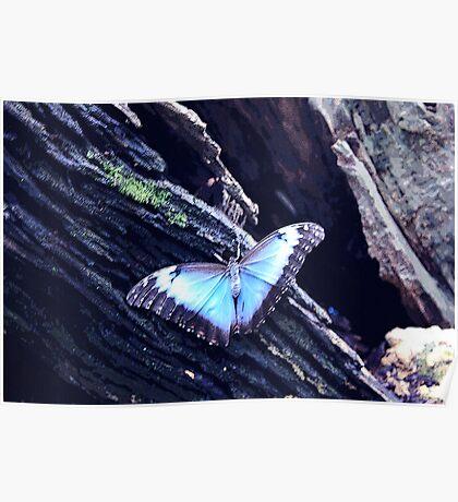 Blue Morpho Butterfly (Morpho peleides) Poster