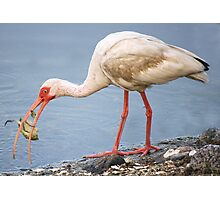 Ibis Catching and Eating a Crab Photographic Print