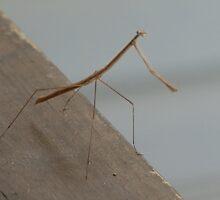 Phasmatodea (Walking Stick) by zpawpaw
