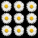 Nine Common Daisies Isolated on A Black Background by taiche