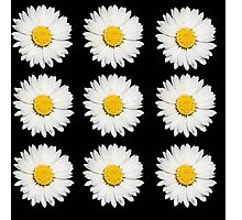 Nine Common Daisies Isolated on A Black Backgound Photographic Print