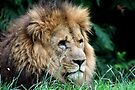 LION  by Debbie Ashe