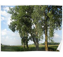Cottonwood Trees Poster