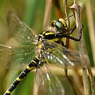 Goldon ringed dragonfly by Russell Couch