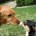 Dog Kisses of a Golden Retriever & Welsh Corgi by elishamarie28