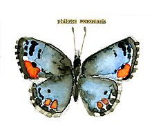 Philotes sonorensis (Sonoran Blue Butterfly) Photographic Print