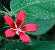 Scarlet Hibiscus Flower by Joe Elliott