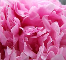 Pink Peony Flower with Frills by dragoncity
