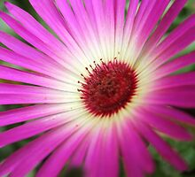 Purple, Pink Livingston Daisy Flower in Close up by dragoncity