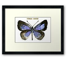 Celastrina argiolus (Holly Blue Butterfly) Framed Print