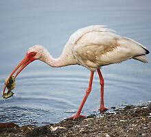 Ibis Eating a Crab by Paulette1021