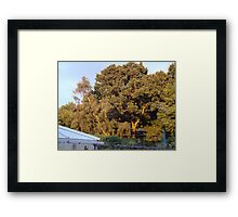 Golden Oak with the sun going down in the next garden ove Framed Print