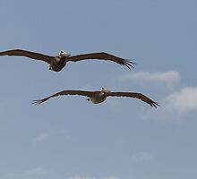 A pair of pelicans in Florida by Keith Larby