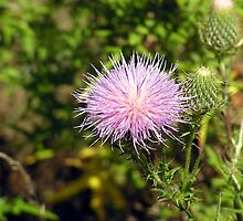 Field Thistle - The Wheatfield, Gettysburg by lisacd1863