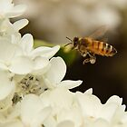 Bee in flight by Robert Kelch, M.D.
