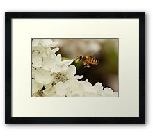 Bee in flight Framed Print
