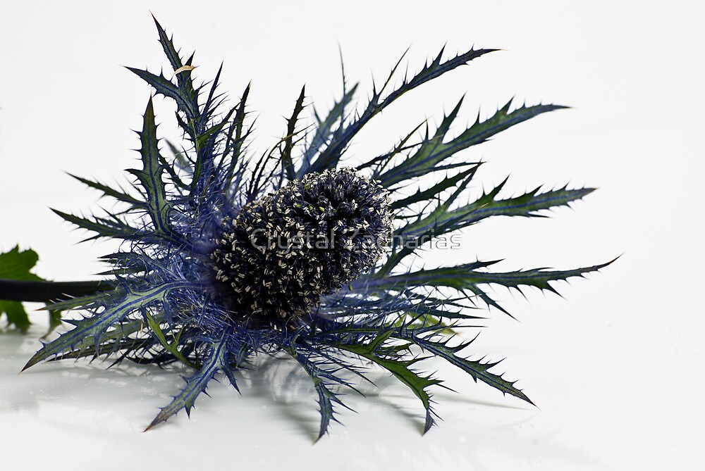 Eryngium by Crystal Zacharias