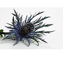 Eryngium Photographic Print