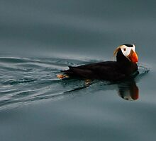 Puffin by Bob Moore