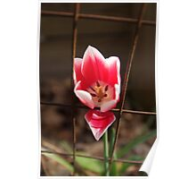 Two-toned Tulip Poster