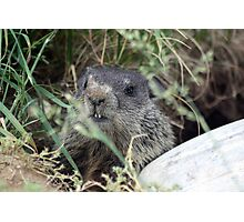The Baby (Groundhog) Photographic Print