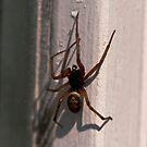 False widow spider - Steatoda nobilis by evilcat