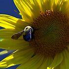 Backlit Sunflower by Susan Blevins