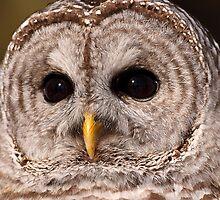 Big Brown Eyes / Barred Owl by Gary Fairhead