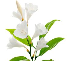 White lilies by homydesign