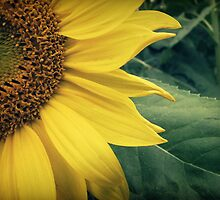 Sunflower by Caroline Fournier