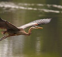 Great Blue Heron by Joe Elliott