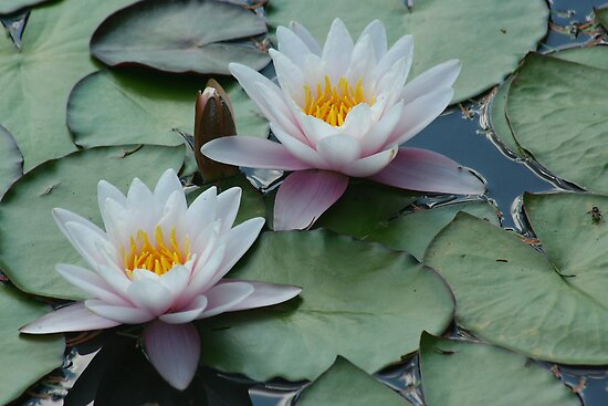 Waterlilies at Fredrick Meijer Gardens by Karen K Smith