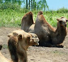 Bactrian Camels by Laurel Talabere