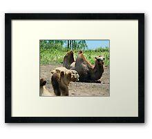 Bactrian Camels Framed Print