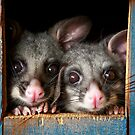 &quot;Poppy &amp; Ivy&quot; Brushtail Possums by Amber  Williams