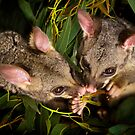 """Jasper & Tinka"" Brushtail Possums by Amber  Williams"