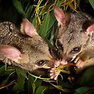 """Jasper & Tinka"" Brushtail Possums by Amber  Williams"